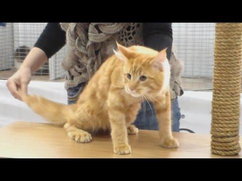 Рыжий Мейн Кун, котенку 4-е месяца, Породы кошек