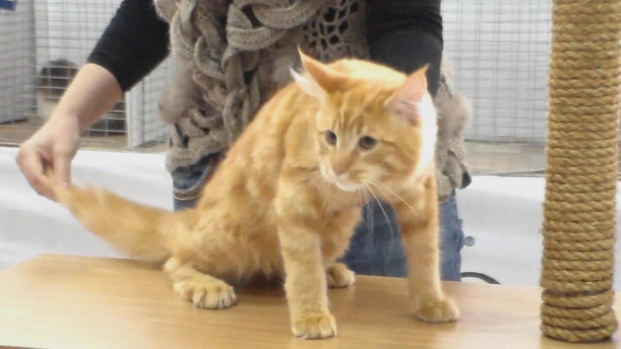 порода рыжий кот фото