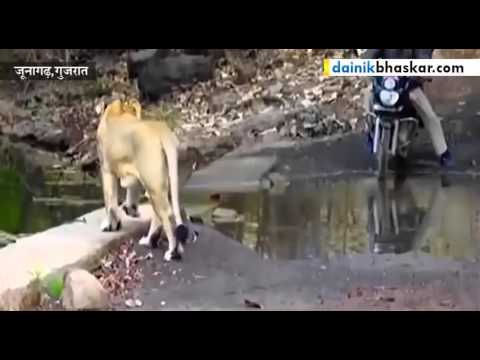 Lion Crosses Path of Forest Workers in Gir Forest, India