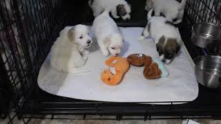 Coton Puppies For Sale - Ireland 10/7/20