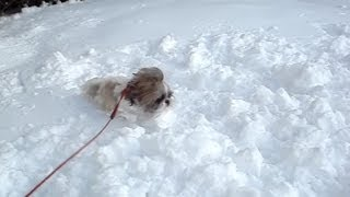 Shih Tzu Dog Lacey Loved First Big Snow Of The Season
