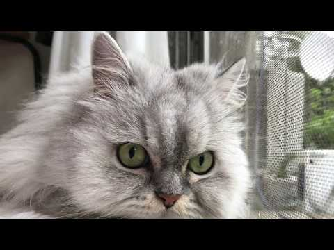 Two American-shorthair-silver-shaded-chinchilla-persian Half-breeds and Two Cats with Boss #1