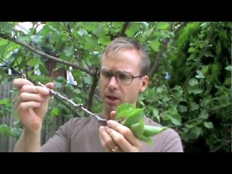 How to Graft Apricots