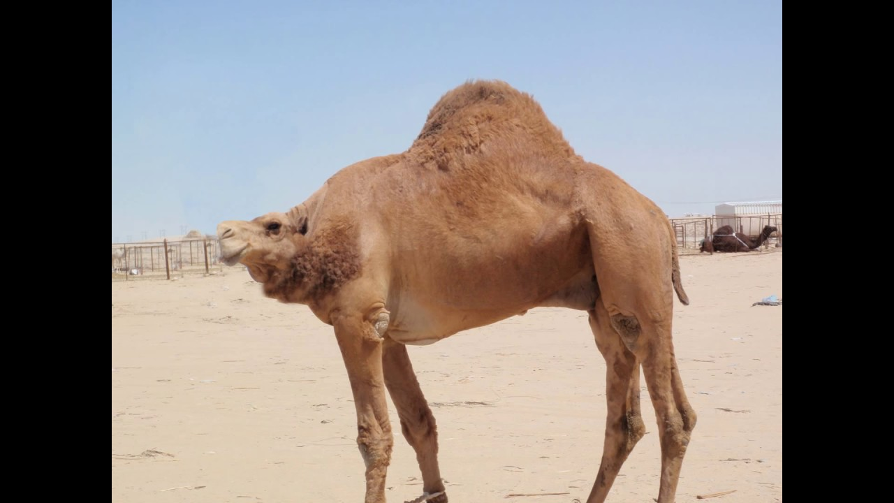 Image of: Pictures Animals Without Necks Youtube Animals Without Necks Youtube