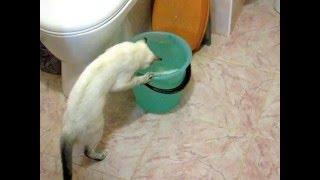 Ведро воды, белая полоска и тайская кошка! Тайские кошки - это чудо! Funny Cats