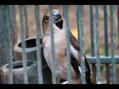 Illegal Hunting Of Small Birds In Italy - Where Your Garden Birds Become Dinner