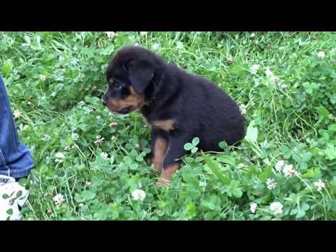 Вопрос: Как ухаживать за щенком ротвейлера?