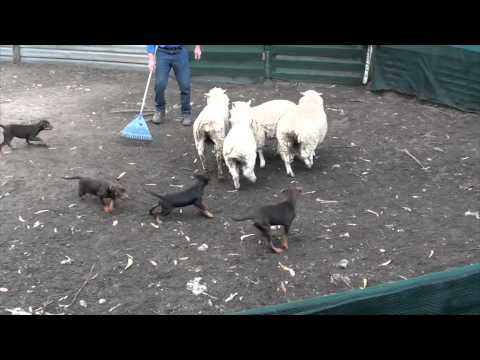 Starting kelpie pups off on sheep