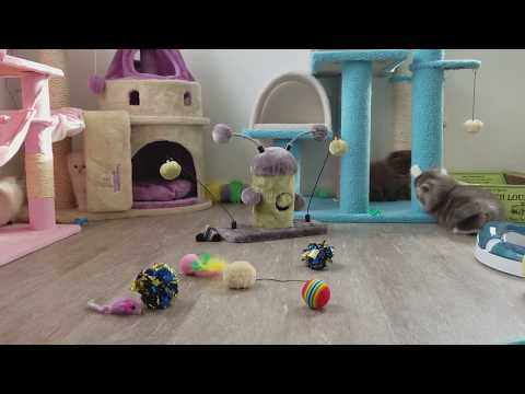 Persian Kittens playing around in the nursery, so cute!!