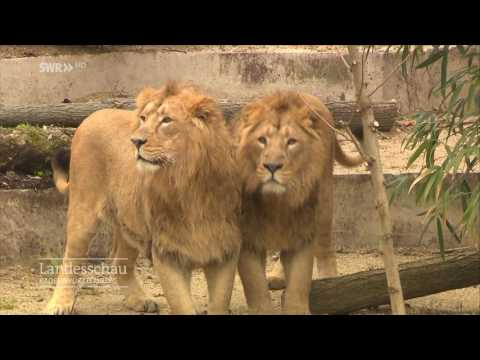 Raus mit den Löwen | Wilhelma Stuttgart
