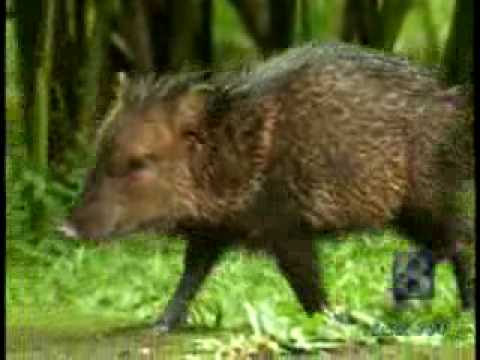 Plucky Peccaries Pig Out