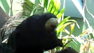 Baixar Bravo monkey eating