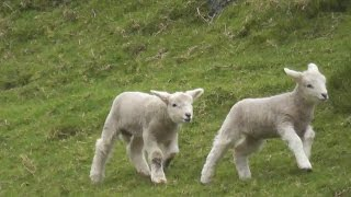 Crazy Cute Baby Lamb Playing And Jumping- Have a Lot Of Fun
