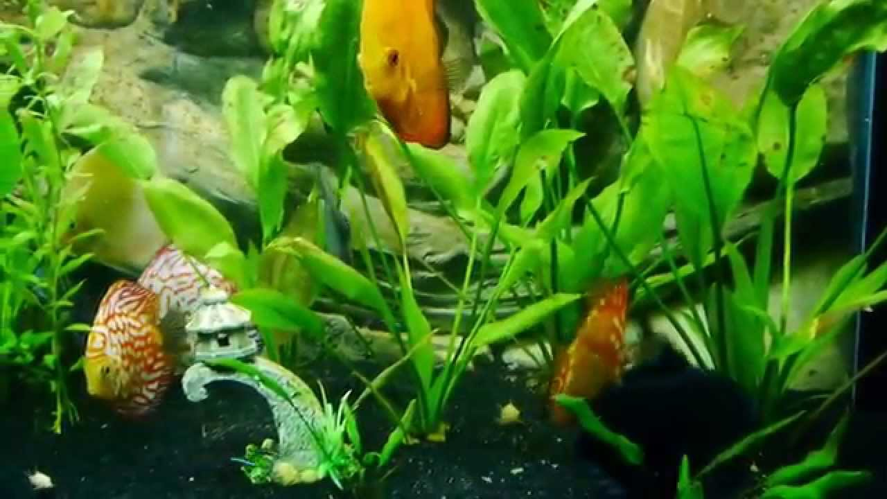 How often do you feed your fish discus fish uk youtube for How often to feed fish