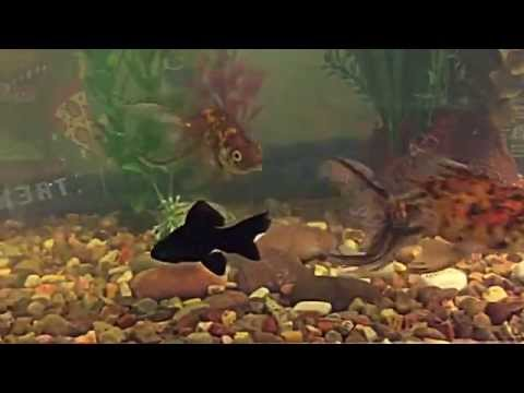 NEW FISH! Baby Black Moor