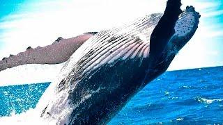10 Increíbles datos sobre la Ballena Jorobada