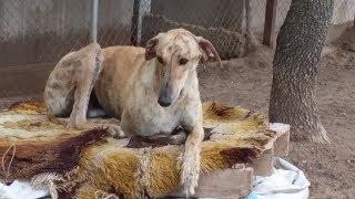 Voyage GALGOS FRANCE du 08 au 10 juin 2018 - Sauvetage de 27 chiens