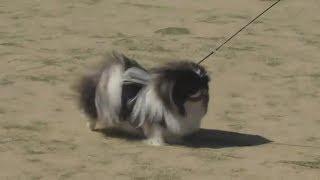 маленькая лохматая собачка - Пекинес, декоративные собаки для женщин