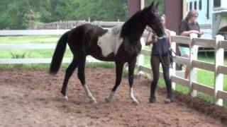 Dressage Prospect, Warmblood Gelding Thumbnail
