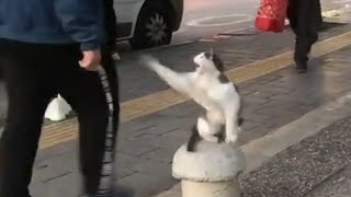 Stray Cat Sits on Sidewalk and Attacks Pedestrians  11216091