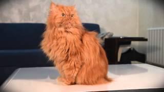 """Angry Cat Garfi """"Cat Sounds"""""""
