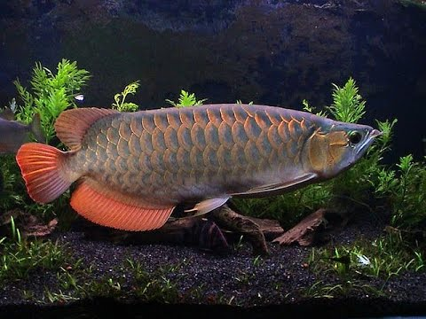 Arowana food jardini arowana care 24k gold arowana for Dragon fish for sale