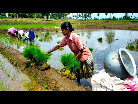 How Rice Is Made Step By Step From India /rice Cultivation In India /paddy Cultivation