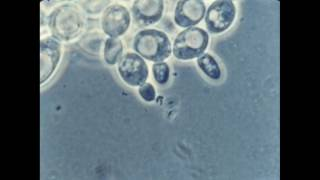 57. Budding of Yeast Cells