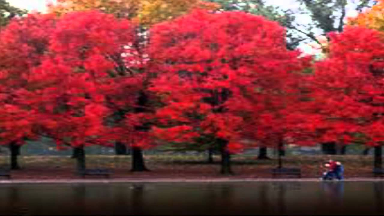 Red Maple Trees Online 3 25 From Plants Nursery You