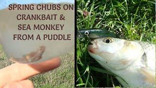 Chub Fishing with Crankbait & a Sea Monkey Found/ Rebel на CFL/ головень воблер з живою укуси