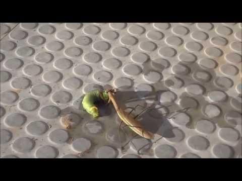 【閲覧注意】カマキリが大物を仕留める瞬間!そして捕食