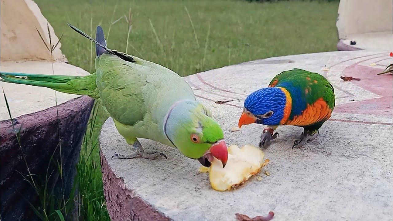 Indian Ringneck Parrot Meets Rainbow Lorikeet!