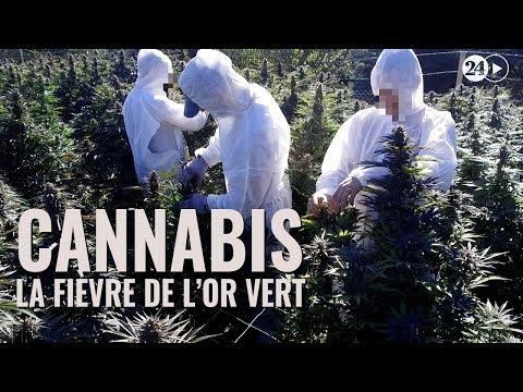 Cannabis, la fièvre de l'or vert