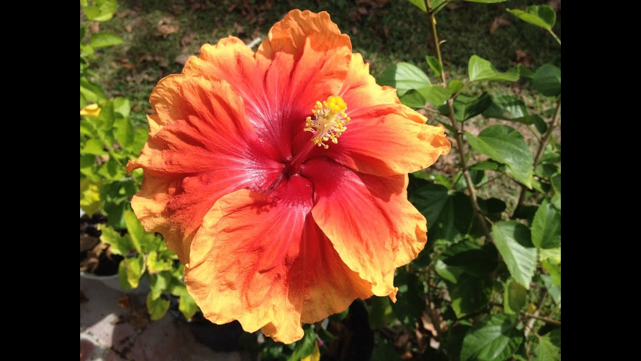 The end of ms shirleys hibiscus season youtube the end of ms shirleys hibiscus season izmirmasajfo