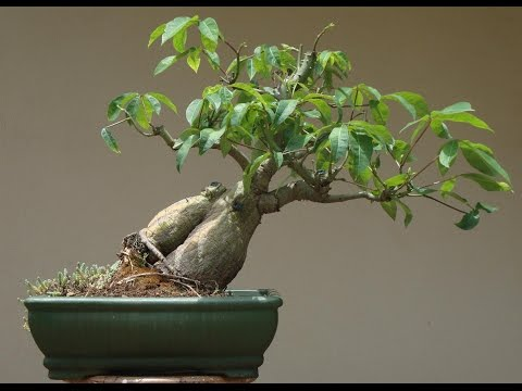 Kapok Bonsai Tree