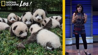 Photographing Pandas and their Return to the Wild - Nat Geo Live