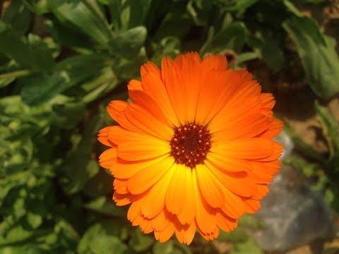 how-to-grow-and-care-calendula/-pot-marigold-/-scotch-marigold-plant