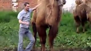 Прикол. Залез называется))) Прикольно залезает на верблюда)))