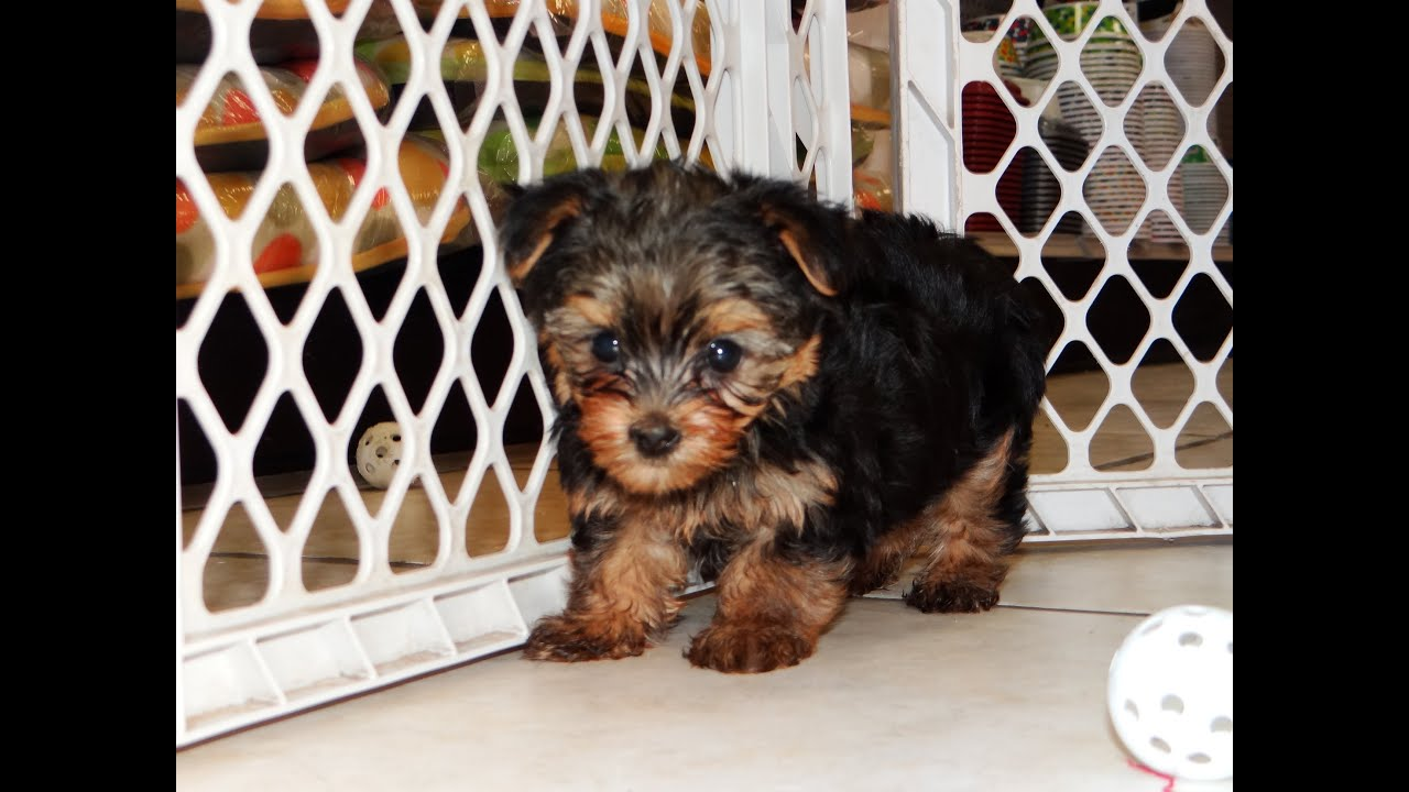 yorkie ton yorkie ton puppies for sale in bridgeport 9155