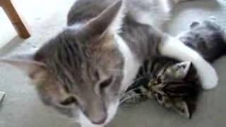 チビ猫と先住猫の戦い