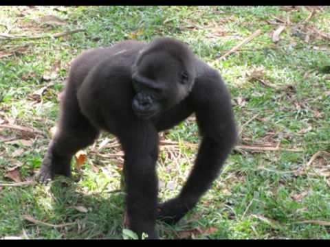 gorillas an endangered species The giant panda is no longer an endangered species the eastern gorilla is critically endangered (cnn)there's mixed news in the animal kingdom.