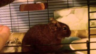 How to tame your degu (requested by Drumaster666)