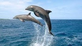 الدولفين في شرم الشيخ  Dolphin in Sharm el-Sheikh
