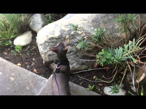 AMAZING! My Peterbald Russian Sphynx cat walking on a leash!!!! Smart kitty!