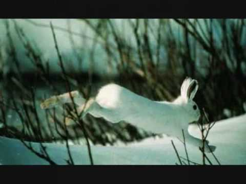 THE FABLED HARE (Maddy Prior)