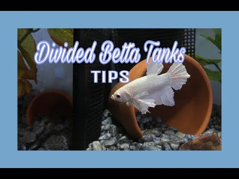 Divided Betta Tanks || Tips