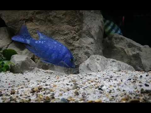 Placidochromis Phoenochilus Tanzania
