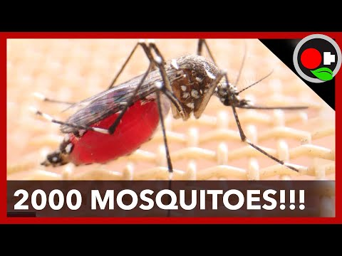 2000 Mosquitoes Feed on my Arm!