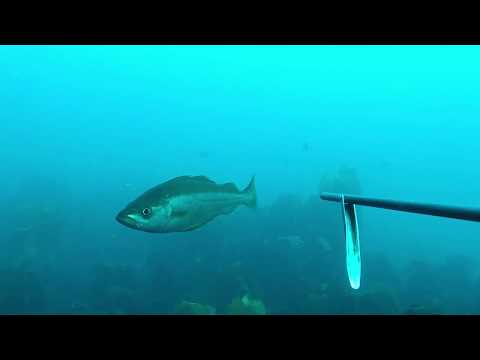 Guernsey , spear fishing for pollock  (watch in HD)