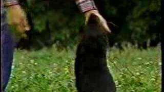 以前 友人から頂いた「黒の美学」と題するビデオの中に、黒ラブが収録さ...